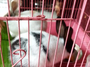 One pair Rabbit For Sale